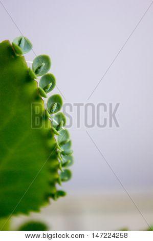 Kalanchoe Pinnata Leaf On Grey Background