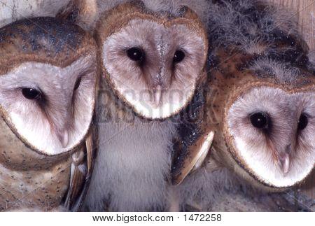 3Barnowls