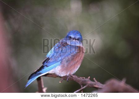 Bluebunting2