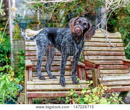 Purebred German Wire-haired Pointer