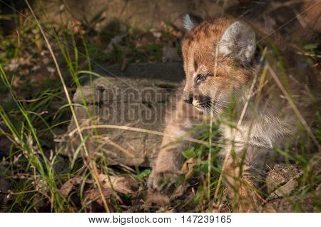 Female Cougar Kitten (Puma concolor) Looks Left in Grass - captive animal