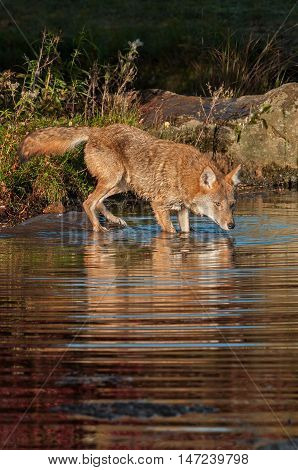 Coyote (Canis latrans) Dips Into Water - captive animal