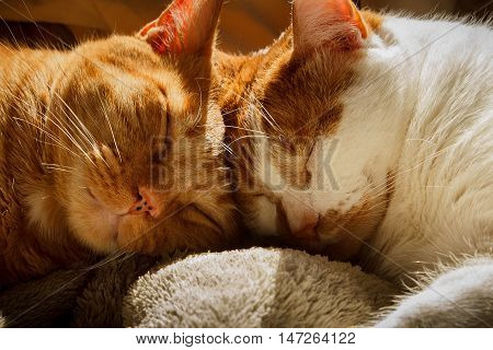 Two orange tabbies sleeping with their heads together
