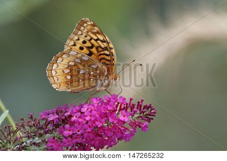 Great-spangled Fritillary On Butterfly Bush