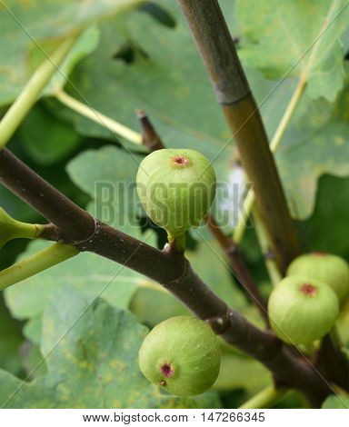 Figs on the branch of a fig tree