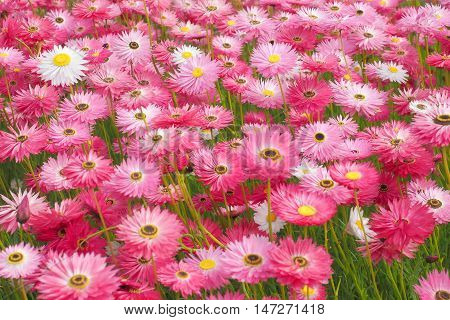 Mass planting of pink paper daisies, everlasting daisies, rodanthe. A native Australian flowering plant.