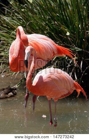 Flamingo..