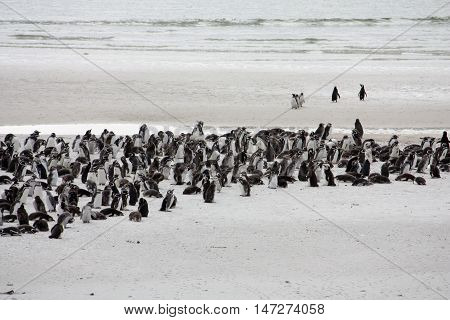 In Stanley Falkland Island the beach is not safe for walking on due to the possibility of land mines however it is the perfect location for this penguin colony