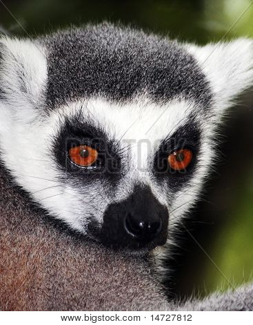 Ring Tailed Lemur lookig towards the camera poster