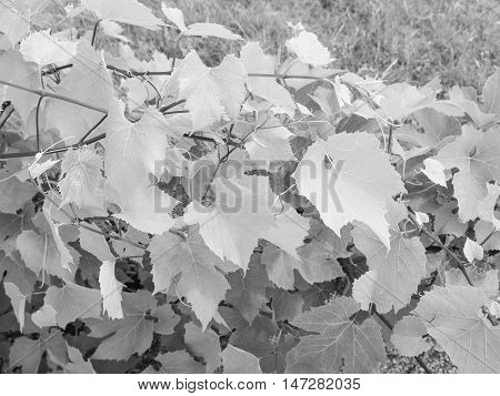 Vitis (grapevine) Plant In Black And White