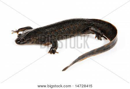 Newt (triturus Vulgaris)