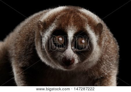Close-up Face of Cute Lemur Slow Loris Stare Isolated Black background poster