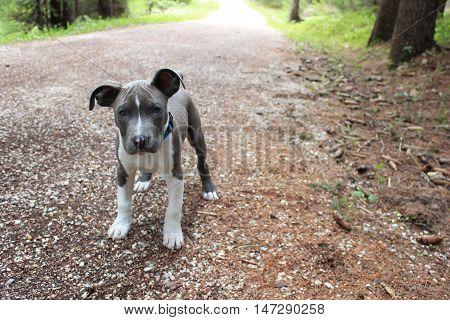 american staffordshire terrier blue amstaff puppy cute dog