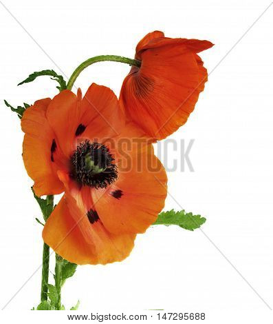 Red poppies field poppy, Flanders poppy, red poppy, red weed, coquelicot on white background with space for text.