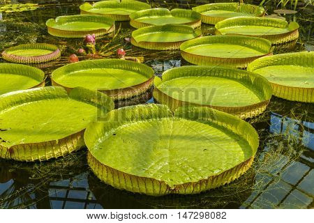 Giant Leaves Of Amazonian Water Lilies
