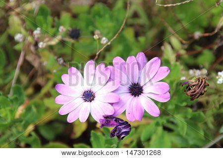 Purple daisy flower osteospermum in the garden