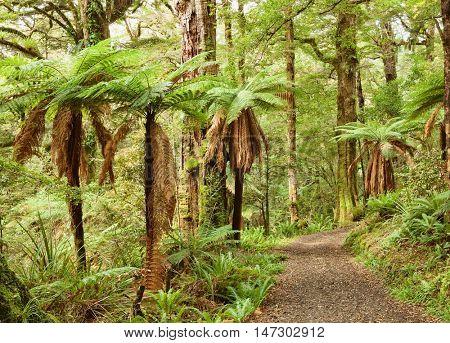 Pathway through temperate rainforest , Te Urewera National Park, North Island, New Zealand