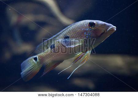 Threespot eartheater (Satanoperca daemon), also known as the spotted demonfish. Wildlife animal.