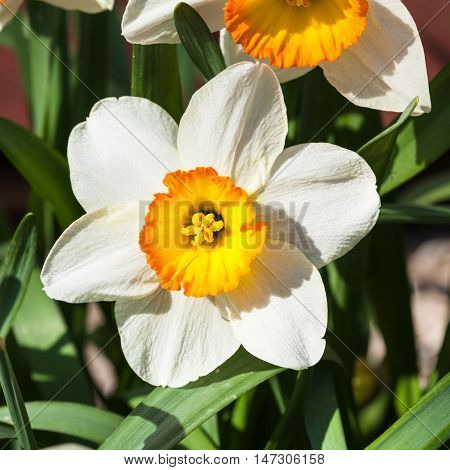 Narcissus Tazetta Cultivar Flower Close Up