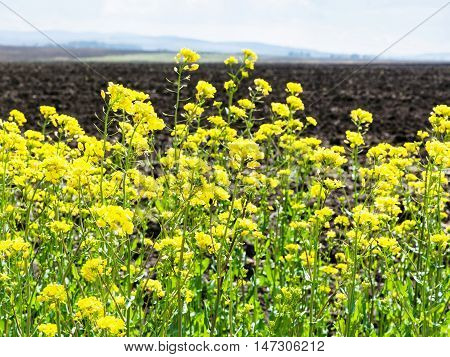 Flowers Of Rapeseed And Plowed Field
