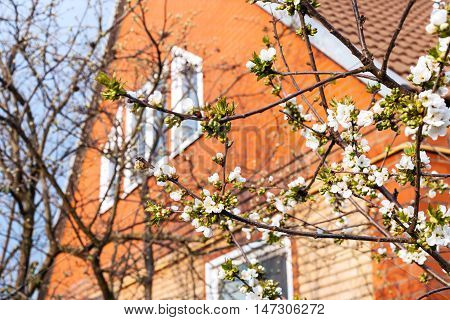 Blossoms Of Black Cherry And Country House