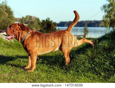 Dogue de Bordeaux or French Mastiff running through the grass in early autumn in September in the park, green grass and trees in the background, open mouth, protruding tongue,  pond, water