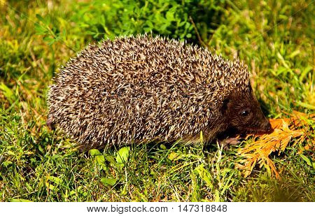 Cute young hedgehog in green grass in profile