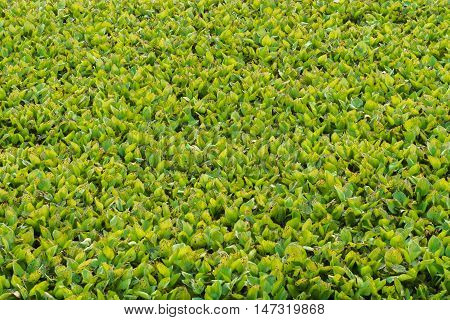 Texture of Green Hyacinth leaves in a lake.