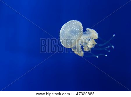 Medusa Jellyfish Underwater Diving Photo Egypt Red Sea