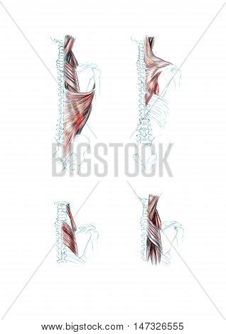 Hand drawn medical illustration drawing with imitation of lithography: Muscles of back