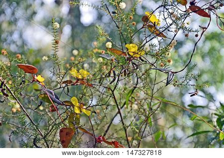 Climbing Guinea Flower (Hibbertia scandens) entwined around Wattle (Acacia) flowers and seed pods in the Australian Bush