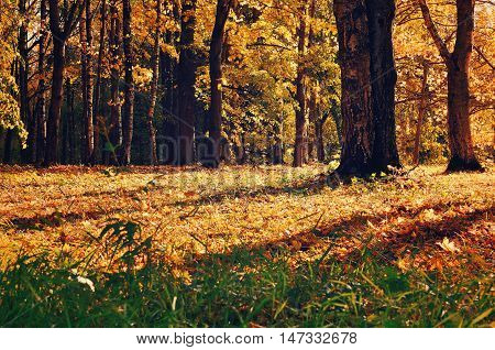 Sunset autumn view of yellowed autumn forest.Autumn landscape with yellowed autumn trees. Autumn picturesque forest in early autumn with fallen dry autumn leaves under sunlight.Colorful autumn nature.