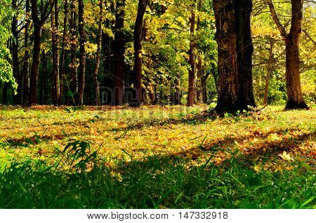 Sunny autumn view of yellowed autumn forest.Autumn landscape with yellow autumn trees. Autumn picturesque forest in early autumn with fallen dry autumn leaves under sunlight. Colorful autumn nature.