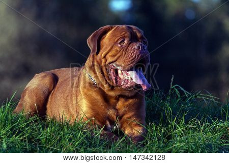 Dogue de Bordeaux or French Mastiff, closeup portrait, lying on green grass in early autumn in the park in September, the chain, collar, iron, trees in the background, in late autumn sunny evening,