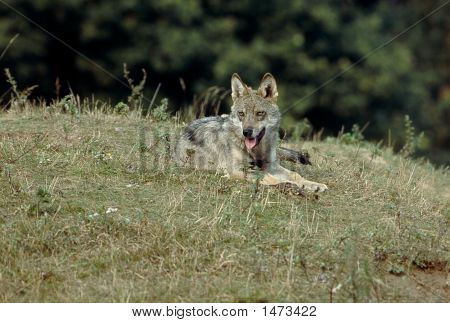 Wolf cub alert lying watching panting animal poster