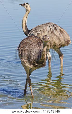 An Emu Facing The Camera
