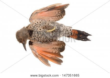 Dead Red-Shafted Northern Flicker (Colaptes auratus cafer) isolated on white, killed by flying into glass window poster