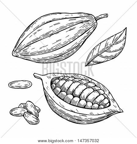 Cocoa vector superfood drawing set. Isolated hand drawn illustration on white background. Organic healthy food. Great for banner poster label