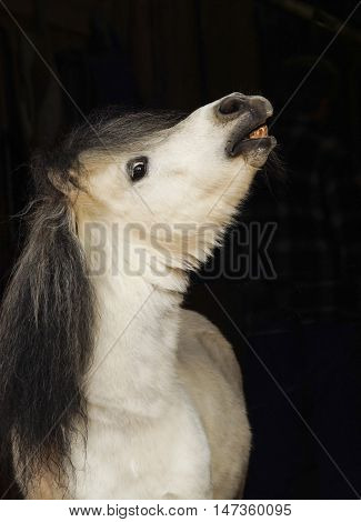 white pony with light tail and dark mane stands on a black background