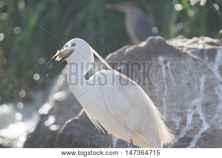 Little Egret bird in the wilderness of egypt