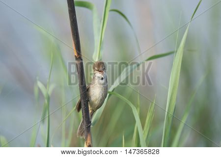 Brown Reed Warbler Bird on branch in the wilderness of egypt