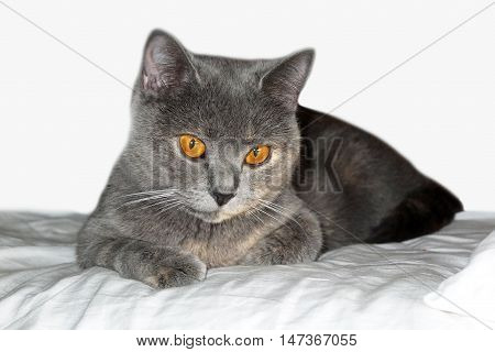 Yellow cat's eye. Beautiful gray cat lying on the soft. British blue cat on isolated background. Home favorite animal with a lot of mysterious look.