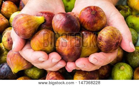 handful of ripe figs in the hands against the background of the harvest of figs