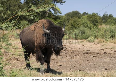 Large male American Bison or Buffalo walking across a farm pasture surrounded by trees showing off his large furry head and intimidating horns.