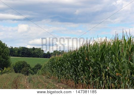 Tall corn rows starting to be cut with hills and clouds in the background.