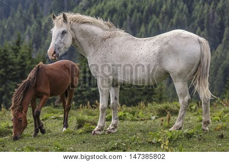 Roan White Mare With Her Foal