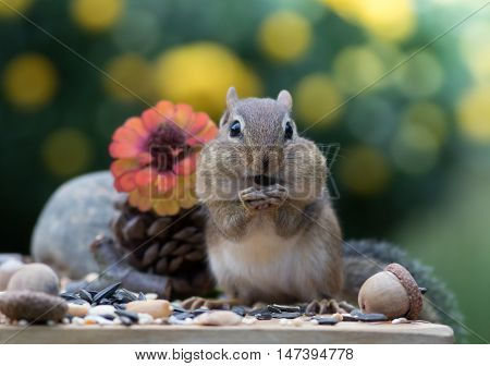 Adorable Eastern Chipmunk stands up and faces front in Autumn scene