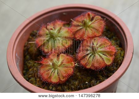Sundew Carnivorous Plants Drosera Burmannii In Pot