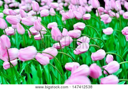 Lots of pink tulips with raindrops. Tulips bent to one side Nature after the rain