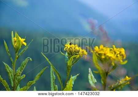 Hypericum Flowers  Perforatum Or St John's Wort On The Meadow , Selective Focus Some